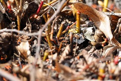 the soldier bug . a lot of red and black bug soldiers crawling on the ground in the branches from the tree side view . insects