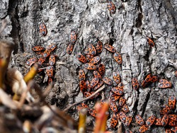 the soldier bug . a lot of red and black bug soldiers crawling on the tree trunk side view . insects