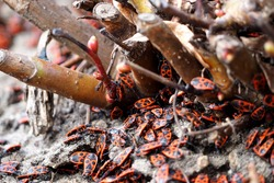 the soldier bug. close up red and black beetles soldier bugs crawl on the ground in the branches from a tree side view . insects
