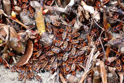 the soldier bug . lots of red and black bug soldiers crawling on the ground top view