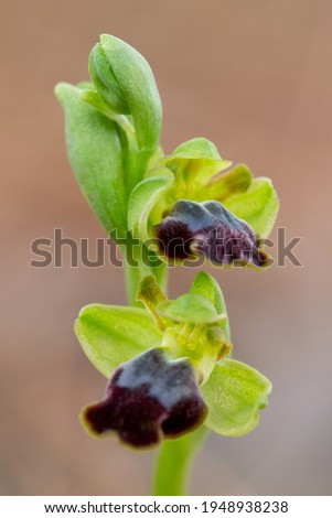 The sombre bee-orchid on the xerothermic grassland in Cyprus Photo stock ©