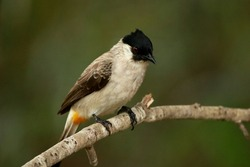 The Sooty-headed Bulbul on branch in nature