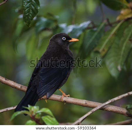 The Sooty Thrush./ (Turdus nigrescens) is a large thrush endemic to the highlands of Costa Rica and western Panama.