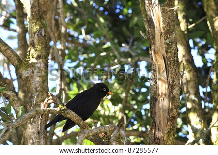 The Sooty Thrush (Turdus nigrescens) is a large thrush endemic to the highlands of Costa Rica and western Panama. It was formerly known as the Sooty Robin.
