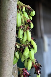 The sour kamias (Averrhoa bilimbi L) is an important fruit in the Philippines used for food and cooking.