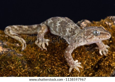 The Southern Alps gecko (Woodworthia 'Southern Alps')  is able to survive even in very high mountains (has a range up to at least 1800m asl) endemic to New Zealand. #1138597967