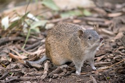the Southern brown bandicoot is often mistaken for a rat