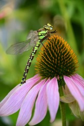 The southern hawker or blue hawker (Aeshna cyanea) is a species of hawker dragonfly insect sitting on a purple coneflower (Echinacea purpurea) close up