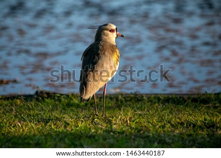 The Southern Lapwing also know Quero-Quero hang out by the lake in the late afternoon. National bird of Uruguay. Birdwatching Animal lover. Red eyes Species Vanellus chilensis. Golden hour.