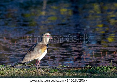 The southern lapwing also know Quero Quero. Only crested wader in South America. National bird of Uruguay. Species Vanellus chilensis. Birdwatching. Animal lover.