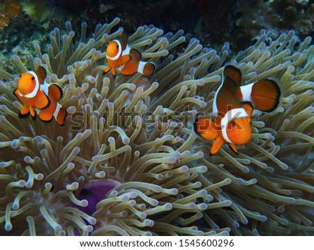 The southern sea. Sea anemone and clown fish