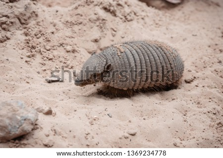 The southern three-banded armadillo (Tolypeutes matacus), also called the La Plata three-banded armadillo, is an armadillo species from South America. It is found in parts of northern Argentina
