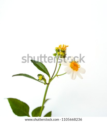 The Spanish needle flowers on a white background.