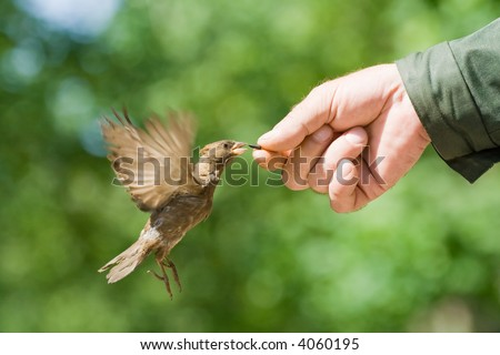 The sparrow flies up to a hand behind a seed