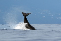 The sperm whale (Physeter macrocephalus) or cachalot, sperm whale tail