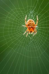 The spider species Araneus diadematus is commonly called the European garden spider, diadem spider, cross spider and crowned orb weaver.