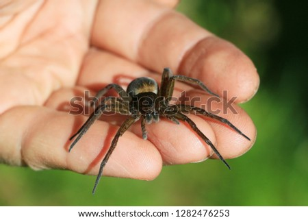 The spider Tegenaria domestica crawling on the man's arm. (or Barn Funnel Weaver, belongs to the genus Tegenaria, family Agelenidae)