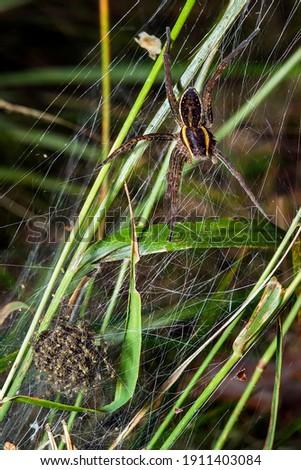 The spider with her spiders. The body and paws are shaggy, brown in color with a bright yellow stripe around the perimeter. Fighting milf, missing two and a half paws.