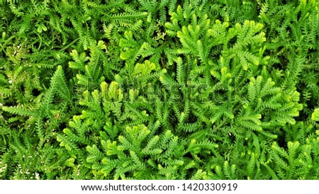 The spike moss (Selaginella wallchii) are growing in the garden. They are spore producing plants, just like ferns, and can produce large mats of deep feathery green foliage.