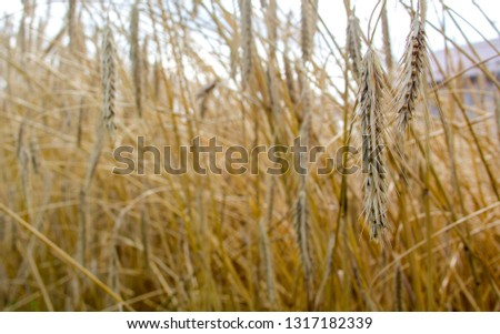 The spike of rye on the background of the field of rye. View with space for your text #1317182339