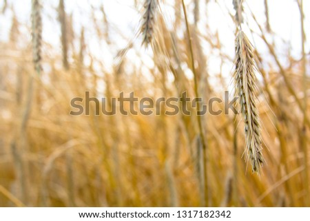 The spike of rye on the background of the field of rye. View with space for your text #1317182342