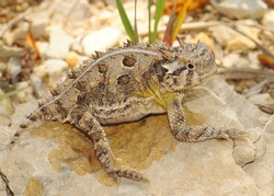 The spiky Texas Horned Lizard, Phyrnosoma cornutum