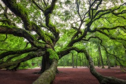 The spiraling trees of Angel Oak Tree in South Carolina