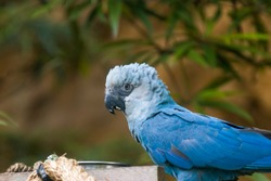 The Spix's macaw is a macaw native to Brazil. The bird is a medium-size parrot. The IUCN regard the Spix's macaw as probably extinct in the wild.