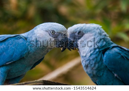 The Spix's macaw is a macaw native to Brazil. The bird is a medium-size parrot. The IUCN regard the Spix's macaw as probably extinct in the wild. Its last known stronghold in the wild was in  Brazil.  Photo stock ©