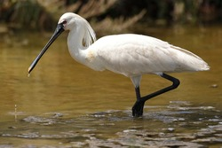 The Spoonbill is an unmistakable wader for its large size, white color, and habit of wading through shallow wetland bottoms while tracking mud with its flattened beak.