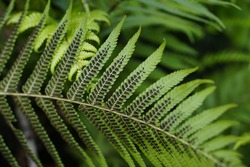 The spore under the fern leaf, this is the special characteristics of fern.