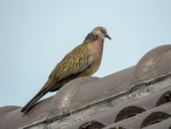 The spotted dove or (spilopelia chinensis) or mountain dove or pearl-necked dove or lace-necked dove or spotted turtle-dove on the roof