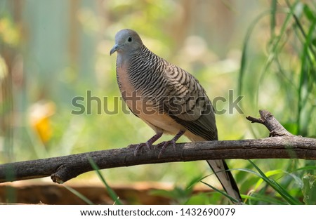 The spotted dove or (spilopelia chinensis) or mountain dove or pearl-necked dove or lace-necked dove or spotted turtle-dove. #1432690079