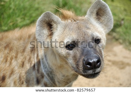 The spotted hyena also known as laughing hyena, is a carnivorous mammal.