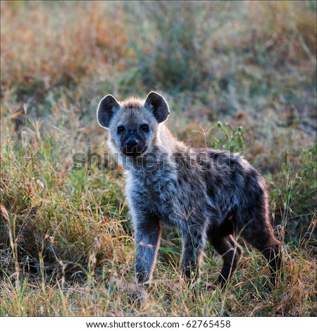 The spotted hyena (Crocuta crocuta) also known as laughing hyena, is a carnivorous mammal of the family Hyaenidae, of which it is the largest extant member.