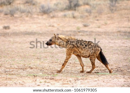 The spotted hyena (Crocuta crocuta) also known as the laighing hyena in tne desert.