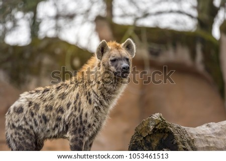 The spotted hyena (Crocuta crocuta), also known as the laughing hyena
