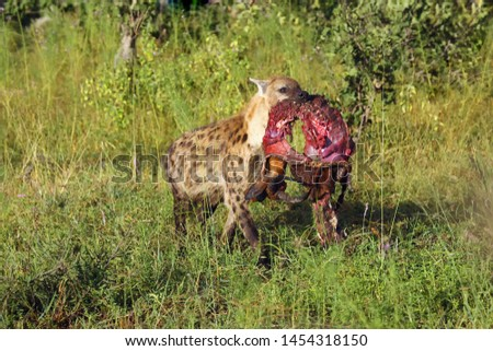 The spotted hyena (Crocuta crocuta), also known as the laughing hyena in a bush savannah.Hyena carrying remnants of impala as its prey.Scavenger in action.