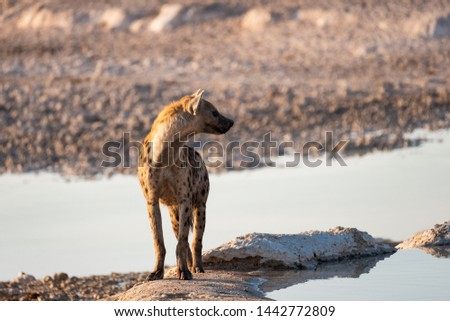 The spotted hyena (Crocuta crocuta), also known as the laughing hyena is a hyena species, currently classed as the sole extant member of the genus Crocuta. Etosha National Park, Namibia, Africa.