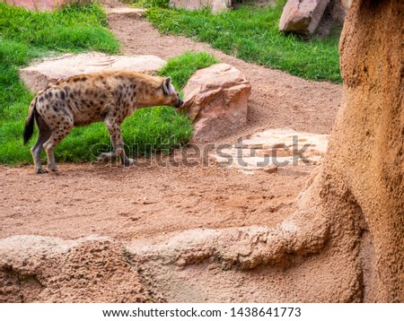 The spotted hyena (Crocuta crocuta), also known as the laughing hyena, is a hyena species, native to Sub-Saharan Africa. Hyena inside the Valencia Bioparc.