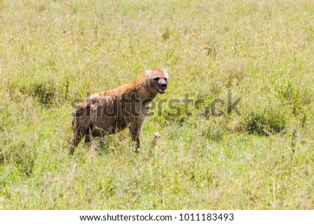 The spotted hyena (Crocuta crocuta), also known as the laughing hyena is a species of hyenas or hyaenas feliform carnivoran mammals of the family Hyaenidae in Serengeti ecosystem, Tanzania