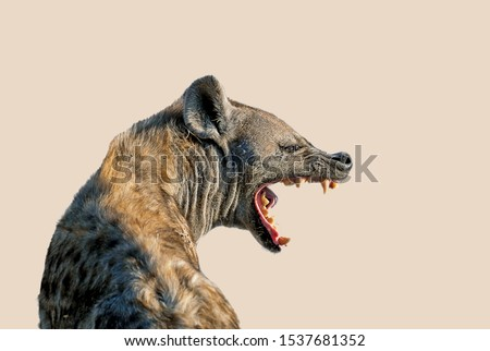 The Spotted hyena isolated on a clear  beige color background. It's turning its head in profile and open the mouth showing teeth in threat signal. Genus crocuta. Africa.  Stock photo ©