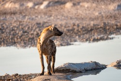 The spotted hyena turn head in profile, also known as the laughing hyena, currently classed as the sole extant member of the genus Crocuta. Etosha National Park, Namibia, Africa.