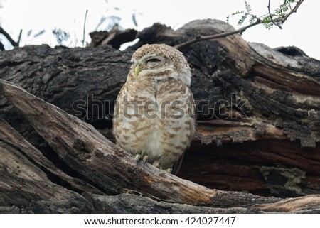 The spotted owlet (Athene brama) is a small owl which breeds in tropical Asia from India to Southeast Asia. A common resident of open habitats including farmland and human habitation,  #424027447