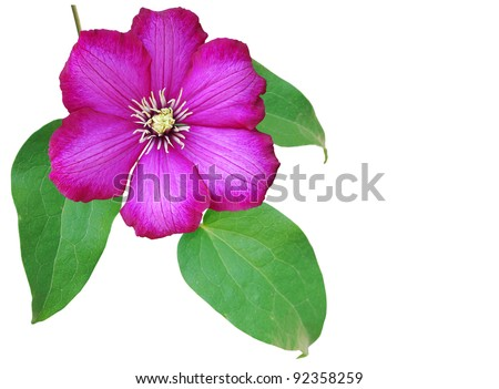 the spring clematis flower