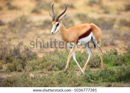 the springbok  antidorcas...