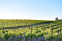 The springtime sun slowly sets over a wine vineyard in the Russian River  Valley region of Sonoma County in Northern California.