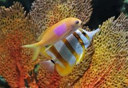 The squarespot anthias (pink square anthias,squarespot fairy basslet) and copperband butterflyfish  in marine aquarium. Pseudanthias pleurotaenia is a reef dwelling fish in Serranidae family.
