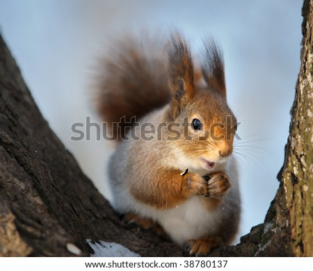 The squirrel in the winter in a tree fork.