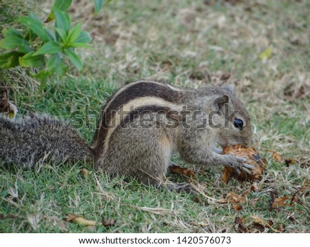 The squirrel on the grass is sitting leisurely and eating fruit gluttonously. It is a herbivore and an intelligent animal.